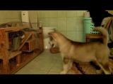 Шиншилла против щенка Аляскинского маламута