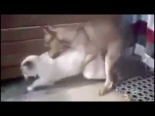Animal Mating 2015 , Dog Mating With Cat Real Sex