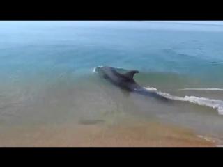 Дельфин охотится на берегу Керчи. Такую красоту редко увидишь (1)