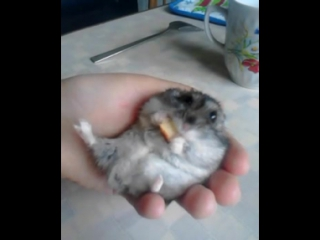 Джунгарский хомяк))) кушает!