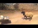 Самый злой Баран, ржачное видео