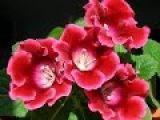 Комнатные цветы -  ГЛОКСИНИЯ. Выращивание,  уход и размножение глоксинии в домашних условиях.