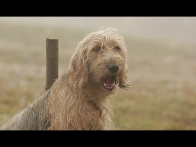 Боснийская гончая. Планета собак 🌏