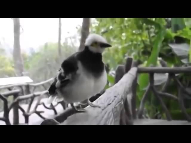 Самая ржачная птичка, спокойно смотреть на неё не получается YouTube