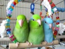 Baby parrotlets hanging out on a swing
