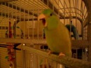 Talking Parrotlet - Koolaid repeats my words
