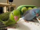 Baby parrotlets playing/eating - 4-5 weeks old