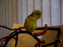 Talking Parrotlet Koolaid plays peek-a-boo