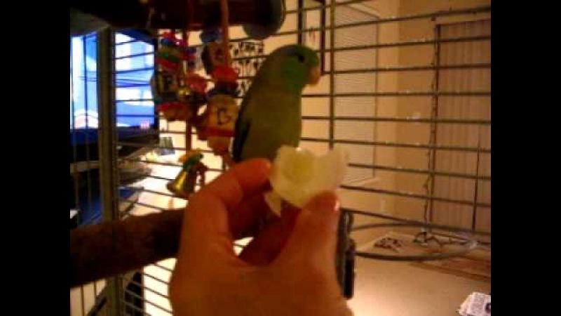 Talking parrotlet goes crazy over eggs » Freewka.com - Смотреть онлайн в хорощем качестве
