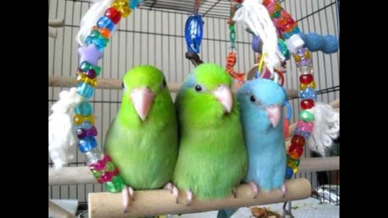 Baby parrotlets hanging out on a swing » Freewka.com - Смотреть онлайн в хорощем качестве