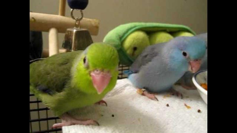 Baby parrotlets playing/eating - 4-5 weeks old » Freewka.com - Смотреть онлайн в хорощем качестве