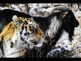 Дружба амурского тигра и козла
