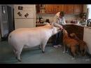 Эстер домашняя свинья весом 300 килограмм. Как стать веганом