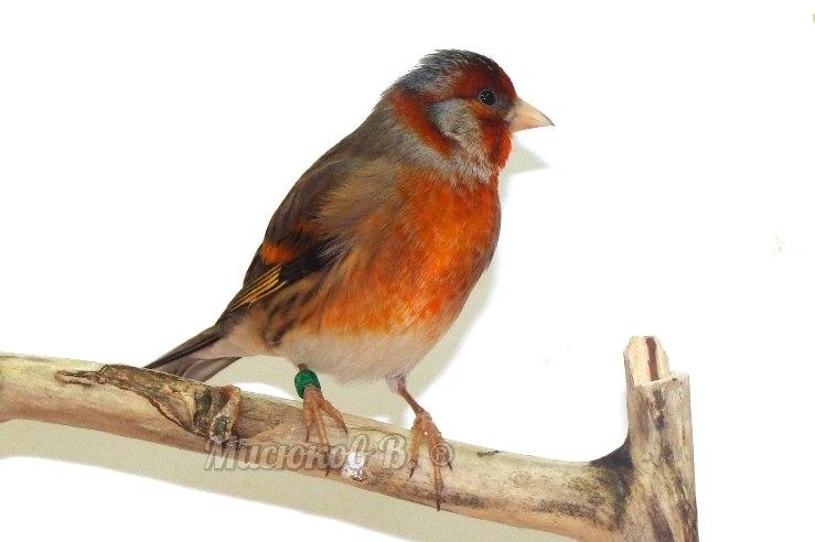 Фотографии моих птиц  - Страница 2 Ejpkck0JryE