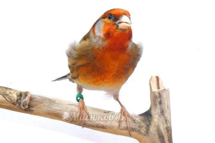 Фотографии моих птиц  - Страница 2 9xT94cjYx64