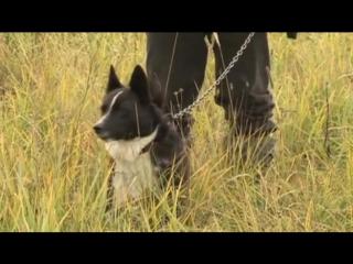 Планета собак. Русско-европейская лайка