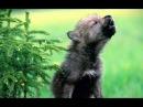 Волчата - песня