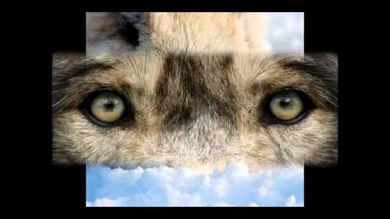 Попала лапа в капкан.. про волков... грустная песня...mp4