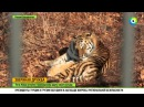 Тигр Амур взял под защиту своего друга козла Тимура
