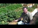 Формирование томатов открытого грунта