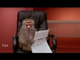 Close up zoom out to medium shot baboon holding financial section of newspaper, sitting in office chair, zoom in making face