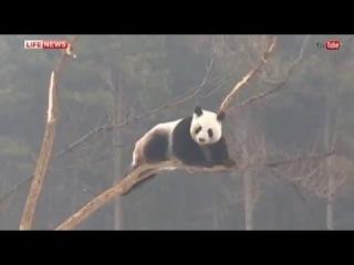 Панды в Китае радуются впервые увиденному снегу