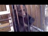 Медведь в клетке у придорожного кафе в Прикамье. Видео