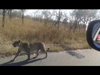 Yes, this is Africa, yes that is a cheetah on the road, and yes we might eat it later.