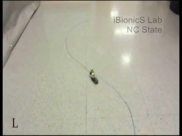 Ученые создали управляемого робота-таракана с помощью чипа