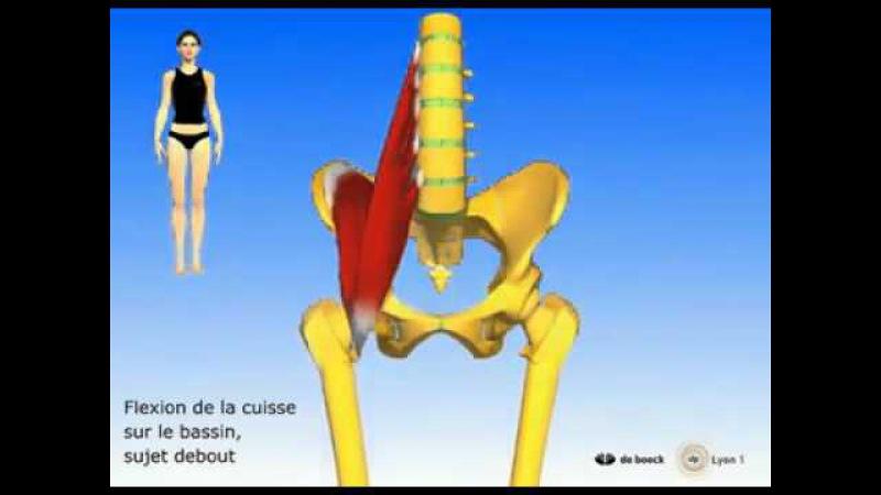 ППМ. Подвздошно - поясничная мышца.