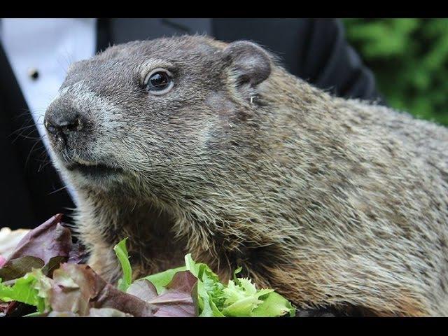 La marmota Phil predice una primavera temprana » Freewka.com - Смотреть онлайн в хорощем качестве