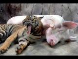 Необычная дружба животных видео, топ-10 союзов между животными