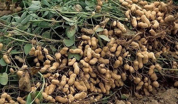 Что такое орех арахис выращивание