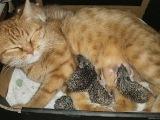 101. Рыжая кошка взяла ежат под свою опеку и выкармливала их вместе с котёнком