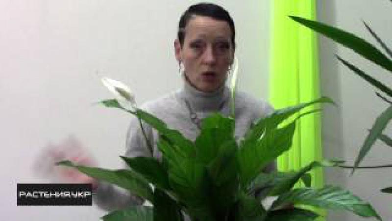 Цветок женское счастье / как ухаживать за спатифиллумом в домашних условиях?