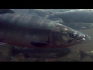 02: Великий Исход Лосося / The Great Salmon Run