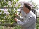 Юрий Латенков в рубрике Садовые истории рассказывает как выращивать абрикосы