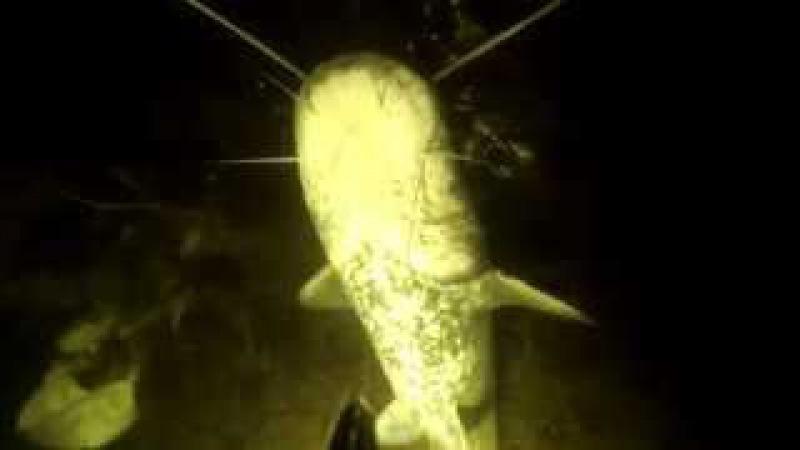 подводная охота на сома видео KG Club katrangun.com
