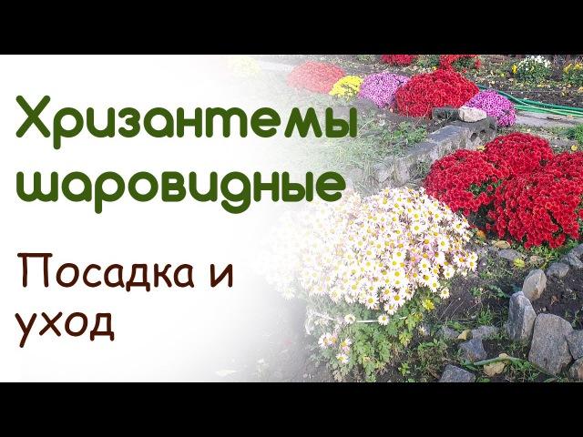 Хризантемы шаровидные Мультифлора Посадка уход укрытие