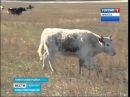 Экзотических копытных — яков и хайнаков — разводит фермер в Нукутском районе