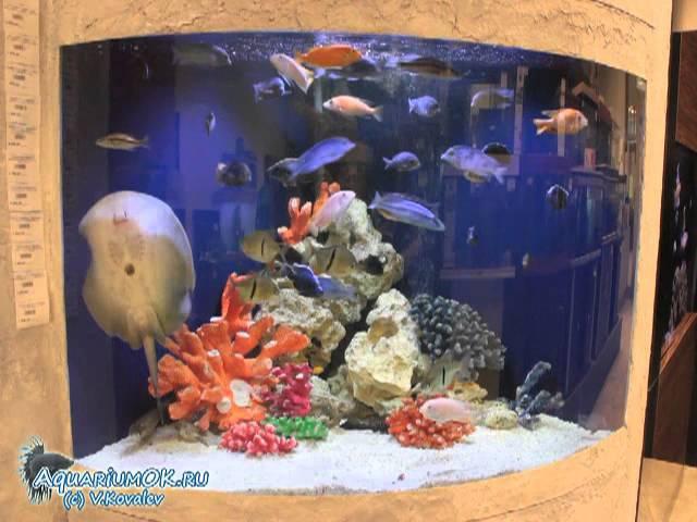 Кормление ската моторо в густонаселенном аквариуме