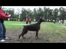 Dobermann Club Show in Moscow 2010 - Brown Females