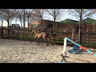 3 yr old gelding by : Hotcha van het Rozendael x Canabis Z