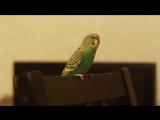 Попугай Шурик поет под гитару песню Арии