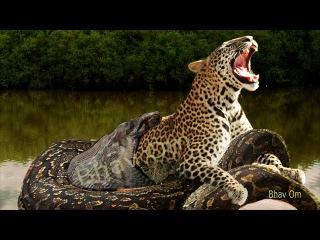 Giant anaconda vs cow. Leopard vs Giant python snake. Real fight. Anaconda attack human