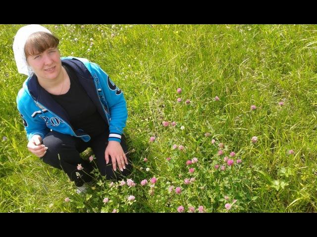 Клевер луговой. Лекарственные травы и растения.
