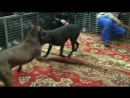 Собачьи бои матч питбуль Тайланд пит-яма