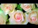Новые сорта роз. Голландские, канадские, флорибунда, грандифлора, Кордеса, Дэвида Остина.