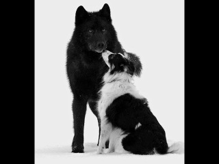 Дикий волк Ромео стал любимцем людей и  мирно играл с собаками