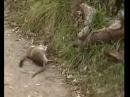 Горностай поймал большую крысу